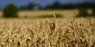 Wheat Crop baisakhi