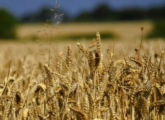Wheat Crop baisakhi